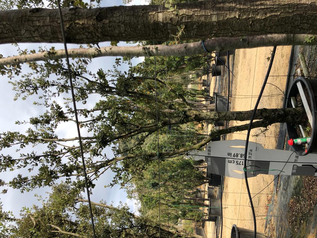 Quercus ilex cont. 160l-0  P