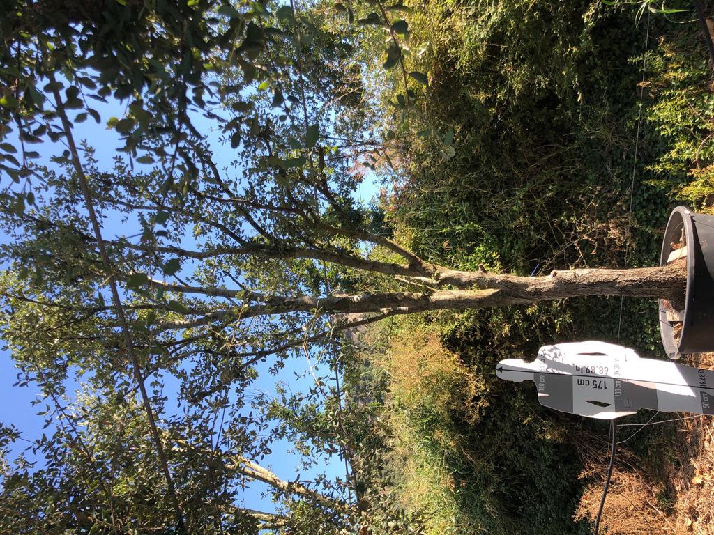 Quercus ilex cont. 350l-1  P