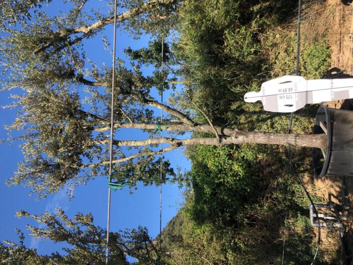 Quercus ilex cont. 450l-1  P