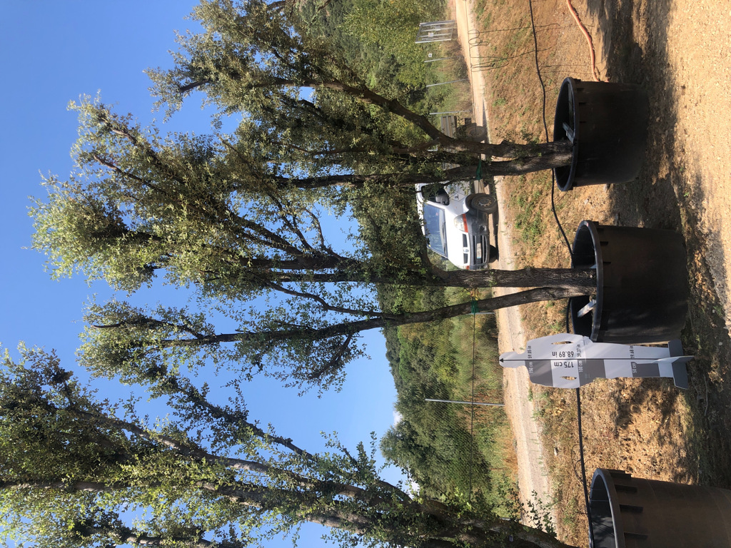 Quercus ilex cont. 1000l-1  P