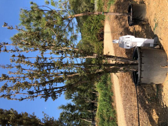 Quercus ilex cont. 1000l-2  P