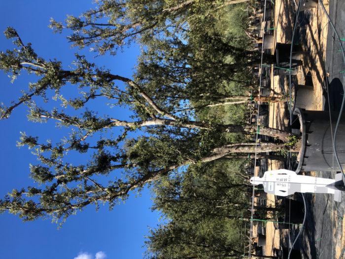 Quercus ilex cont. 1000l-3  P