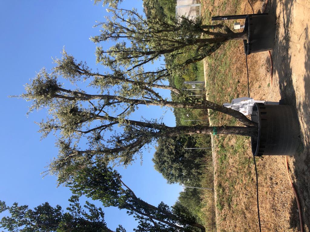 Quercus ilex cont. 1500l-3  P