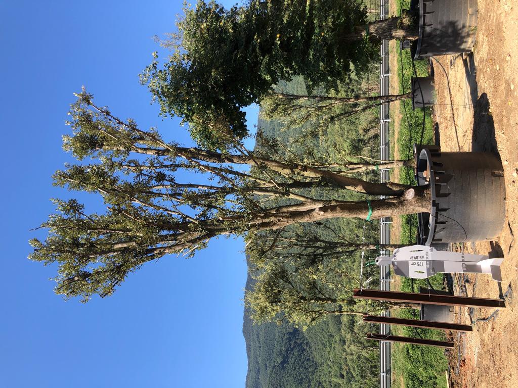 Quercus ilex cont. 1500l-4  P