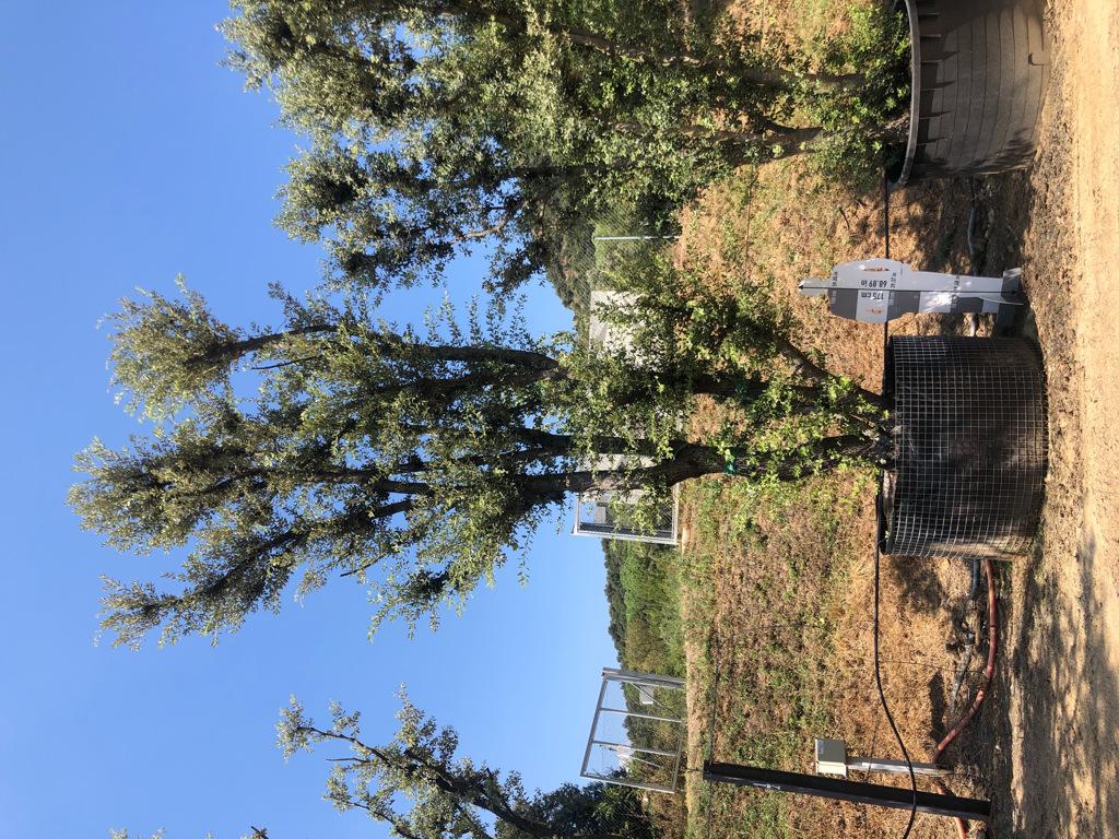 Quercus ilex rejilla-2  P