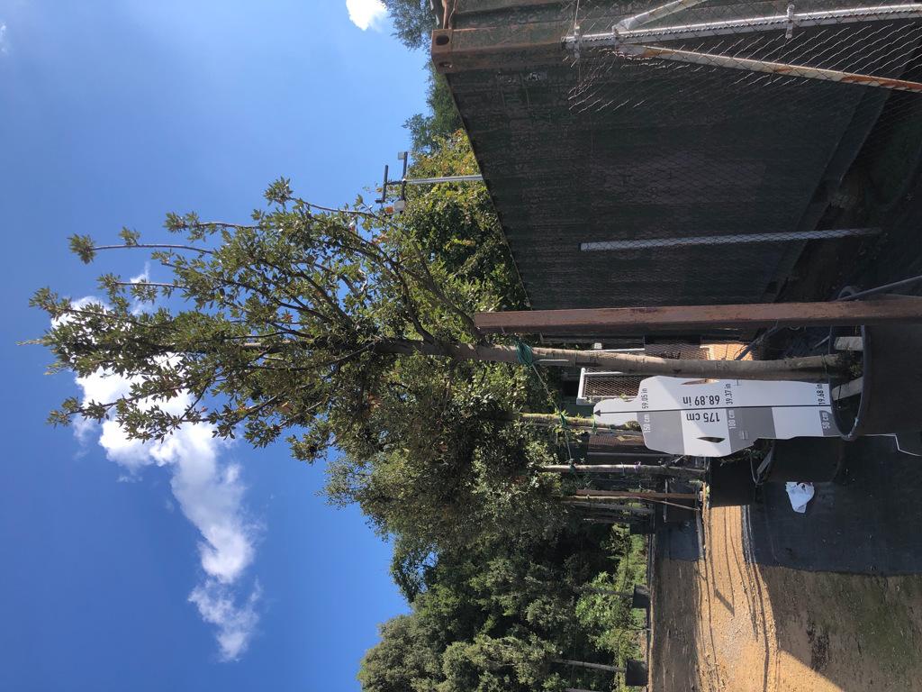 Quercus ilex cont. 30-35 2  P