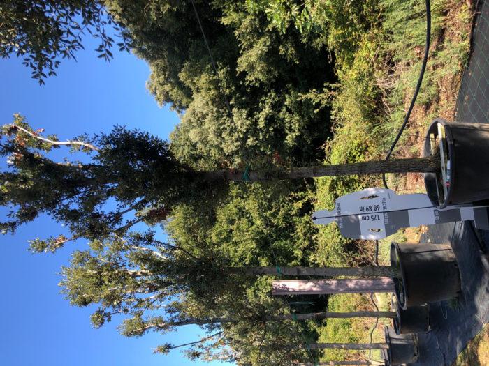 Quercus ilex cont. 35-40 2  P