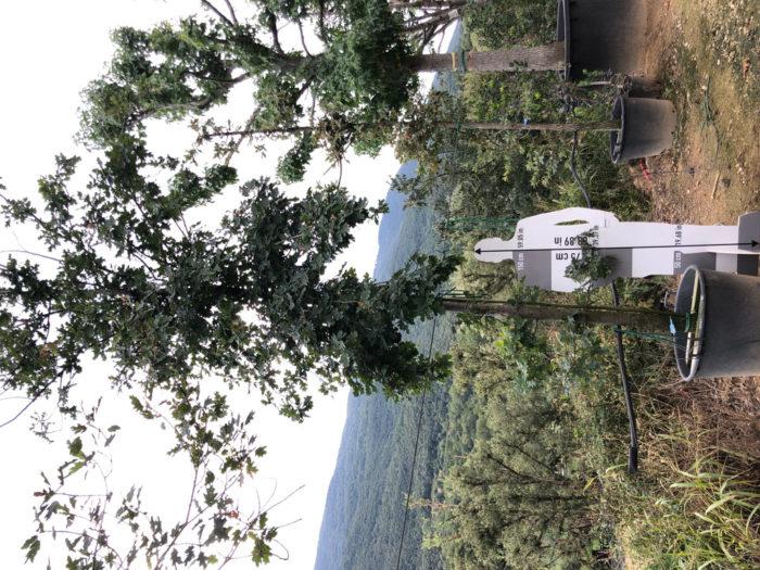 Quercus robur cont. 20-25  P