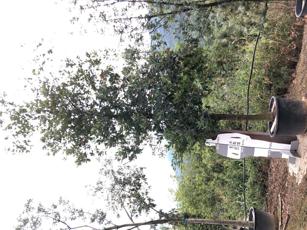 Quercus robur cont. 25-30  P