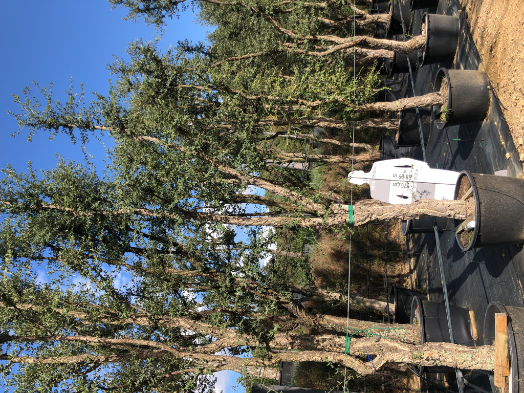 Quercus suber cont. 230l-1  P