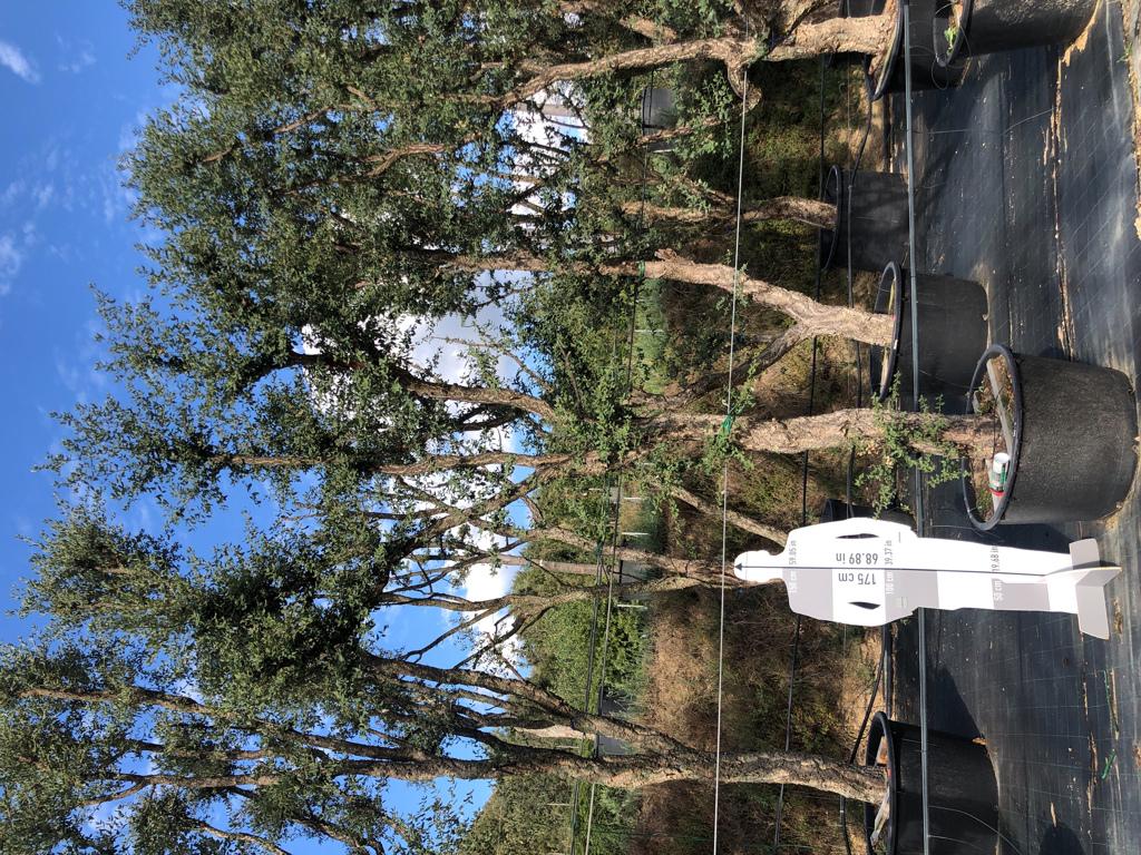 Quercus suber cont. 280l-0  P