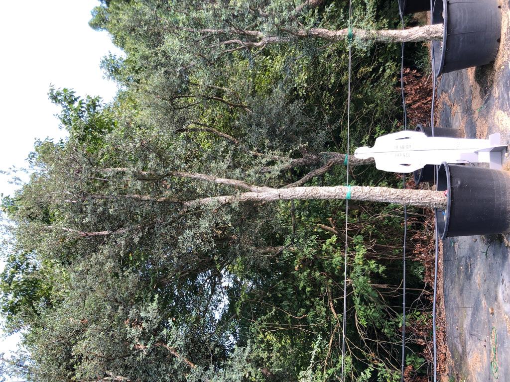 Quercus suber cont. 350l-2  P