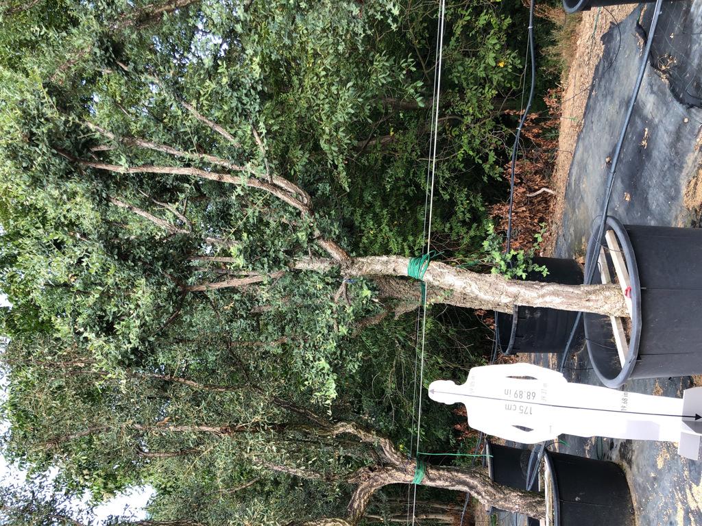 Quercus suber cont. 450l-2  P