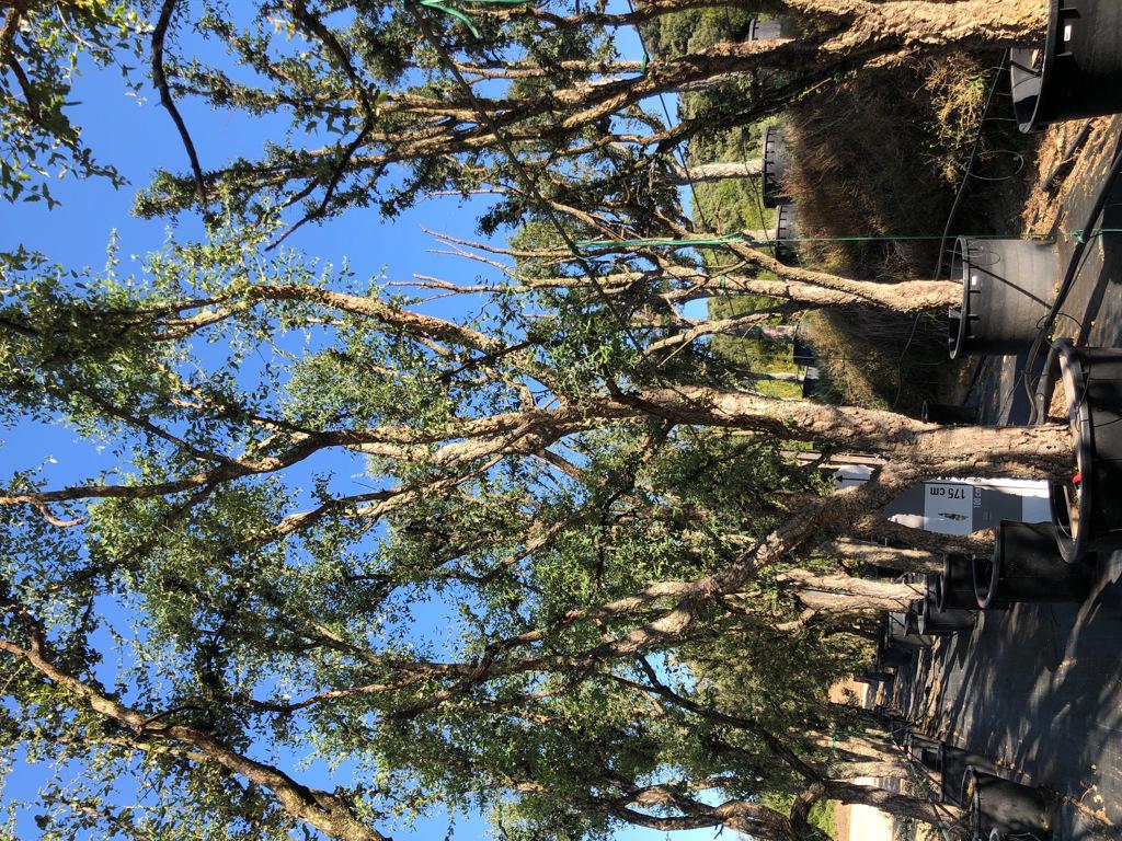 Quercus suber cont. 450l-3  P