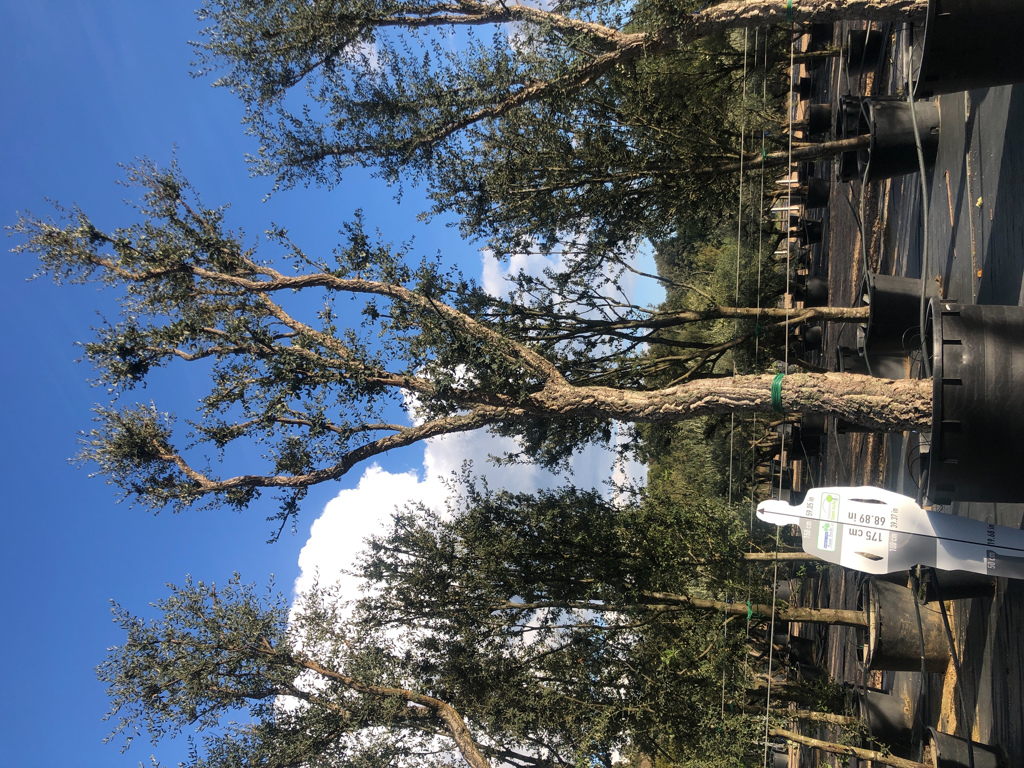 Quercus suber cont. 750l-2  P