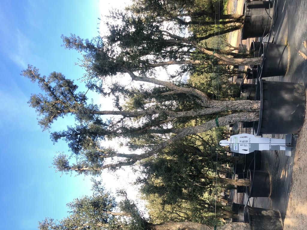 Quercus suber cont. 1000l-3  P