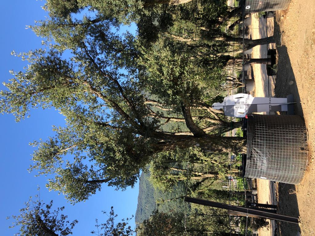 Quercus suber rejilla-0  P