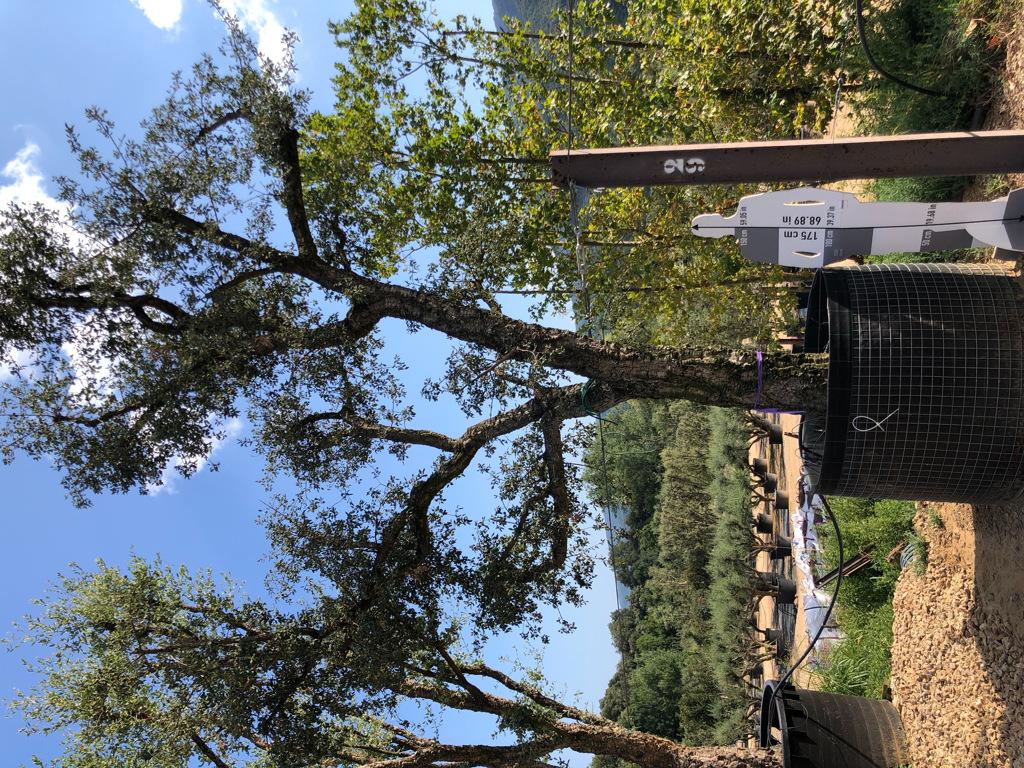 Quercus suber rejilla-1  P
