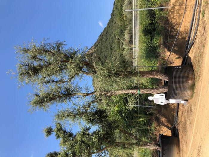 Quercus suber rejilla-2  P