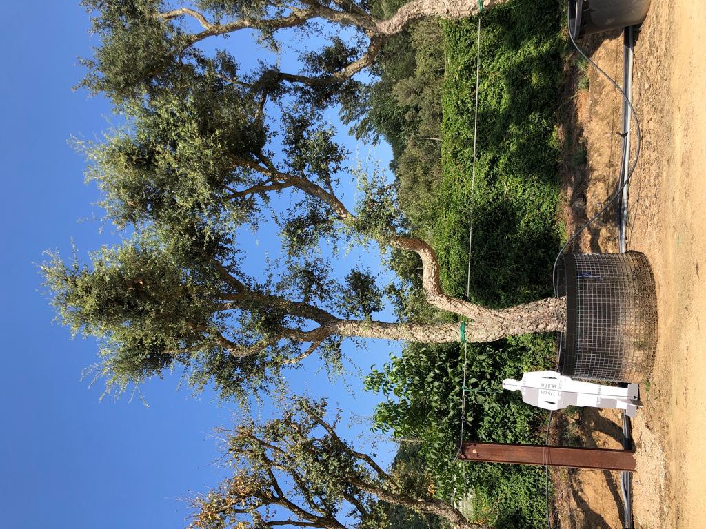 Quercus suber rejilla-3  P