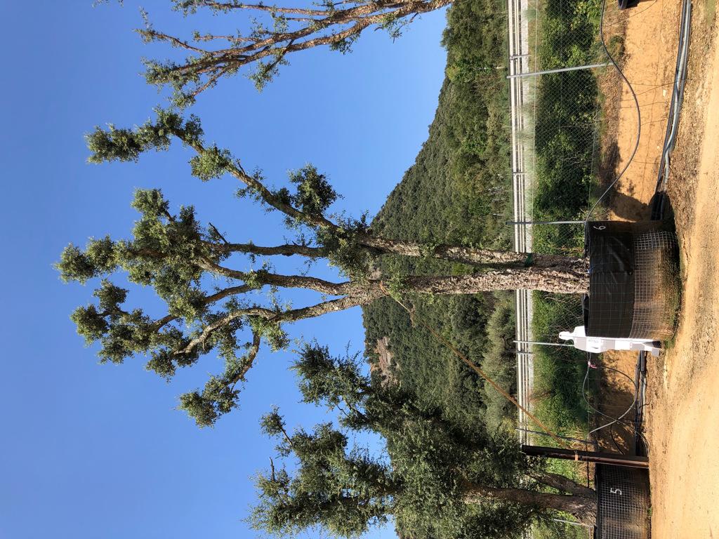 Quercus suber rejilla-6  P