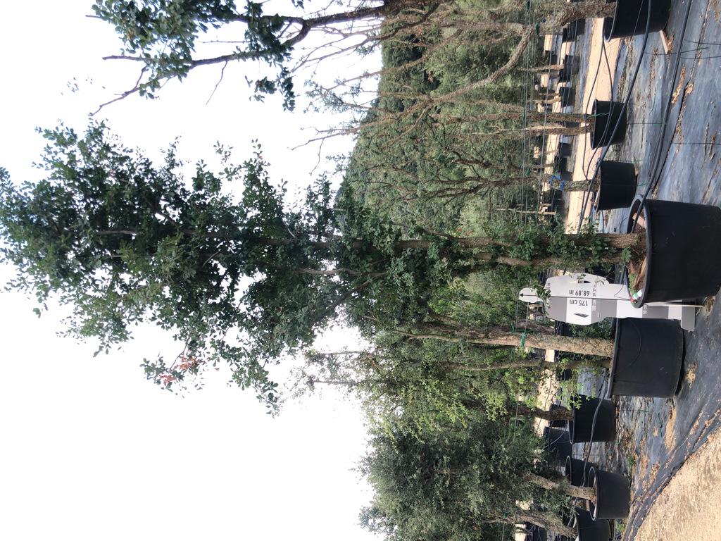 Quercus robur cont. 450-3  P