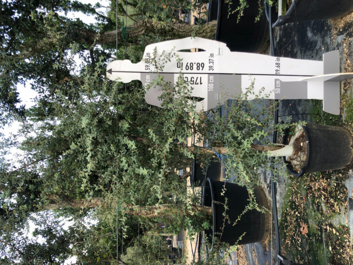 Quercus suber cont. 08-10  P