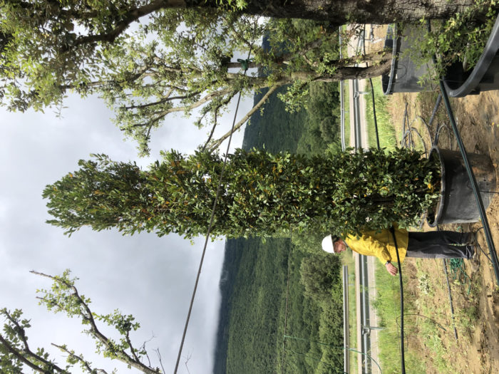 Laurus nobilis 285l +450cm