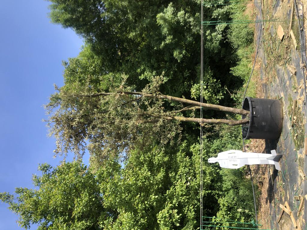 Quercus ilex cont. 750l-1  P