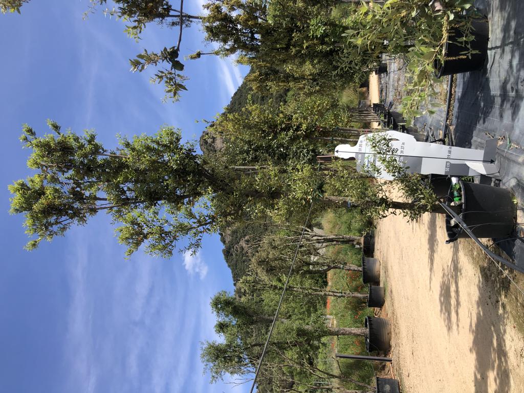 Quercus ilex cont. 20-25 2  P