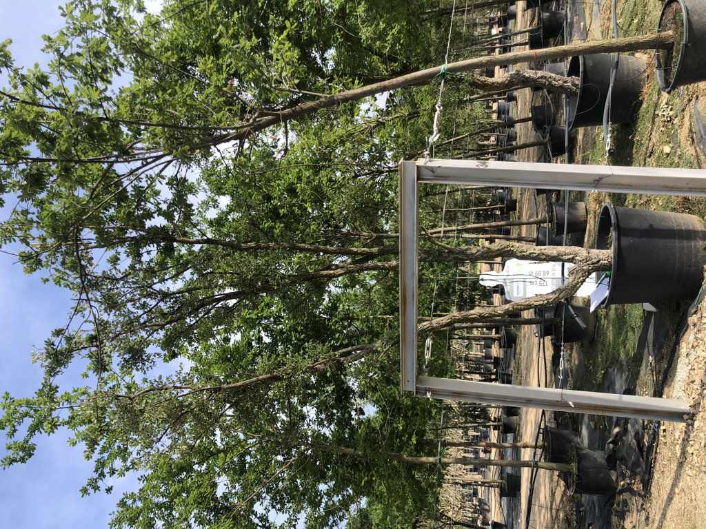Quercus suber cont. 350l-1  P