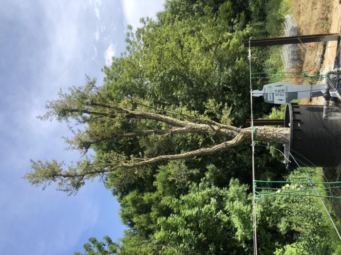 Quercus suber cont. 1500l-2  P